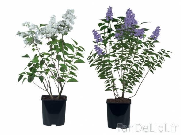lilas en pot jardin fan de lidl fr